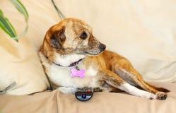 Perro lindo que ve la TV con teledirigido Foto de archivo libre de regalías
