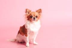 Perro lindo sobre rosa Imagenes de archivo