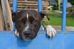 Perro lindo triste Staffordshire bull terrier Imagen de archivo libre de regalías