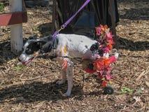 Perro lisiado con la silla de ruedas del perrito adornada con las flores foto de archivo libre de regalías