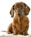 Perro listo en vidrios imagen de archivo libre de regalías