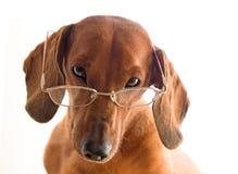 Perro listo en vidrios foto de archivo libre de regalías