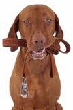 Perro listo para tomar un paseo Imágenes de archivo libres de regalías