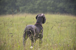 Perro, lluvia, y campo de hierba en verano Imagen de archivo libre de regalías