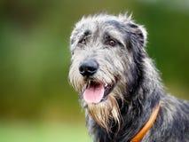 Perro lobo escocés Fotos de archivo