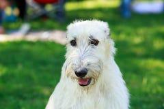 Perro lobo irlandés de la raza del perro Imagenes de archivo