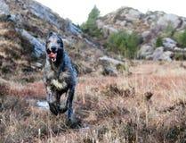 Perro lobo irlandés gigante que corre en naturaleza Fotografía de archivo