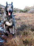Perro lobo irlandés que corre en naturaleza Imagen de archivo