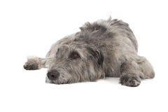 Perro lobo irlandés Foto de archivo libre de regalías
