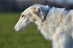 Perro lobo ruso blanco Fotos de archivo