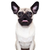 Perro loco sorprendido Imagenes de archivo