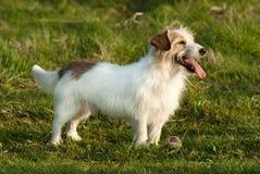 Perro más terrrier de Gato Russell fotografía de archivo libre de regalías