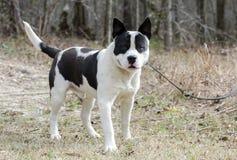 Perro macizo blanco y negro del dogo en el correo, Georgia foto de archivo libre de regalías