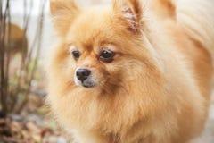 Perro maduro de Pomeranian Foto de archivo libre de regalías