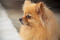 Perro maduro de Pomeranian Imagen de archivo libre de regalías