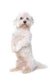 Perro maltés Fotos de archivo libres de regalías