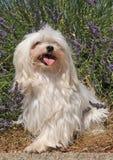 Perro maltés Fotos de archivo