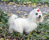 Perro maltés blanco Fotos de archivo