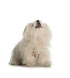 Perro maltés blanco en el fondo blanco Imagenes de archivo