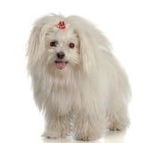 Perro maltés blanco en el fondo blanco Foto de archivo
