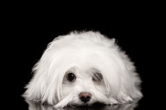 Perro maltés blanco que miente, ojos tristes que parecen in camera aislados Foto de archivo