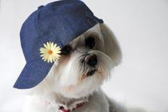 Perro maltés con el casquillo fotos de archivo