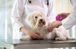 Perro maltés con la pata quebrada en enfermería del veterinario foto de archivo libre de regalías