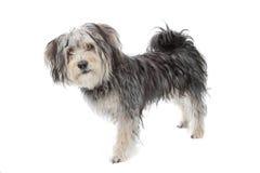 Perro maltés de la casta mezclada/terrier de yorkshire Imagen de archivo libre de regalías