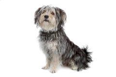Perro maltés de la casta mezclada/terrier de yorkshire Foto de archivo libre de regalías