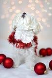Perro maltés del día de fiesta que canta Foto de archivo libre de regalías
