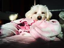 Perro maltés el dormir Fotos de archivo