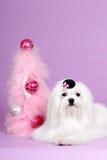 Perro maltés en la Navidad del sombrero Imágenes de archivo libres de regalías