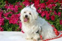 Perro maltés feliz que disfruta de tiempo de resorte fotos de archivo