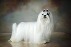 Perro maltés hermoso foto de archivo libre de regalías