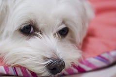 Perro maltés que descansa sobre la almohada rosada Fotografía de archivo