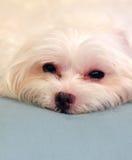 Perro maltés soñoliento foto de archivo libre de regalías