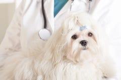 Perro maltés y veterinario lindos foto de archivo