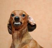 Perro malvado Foto de archivo