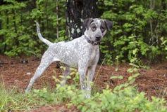Perro manchado del indicador del perro de caza, fotografía de la adopción del rescate del animal doméstico Imagenes de archivo