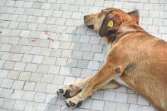 Perro marcado con etiqueta de la calle, durmiendo en la acera, Skopje, Macedonia imagen de archivo