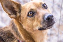 Perro marrón aislado Imagen de archivo