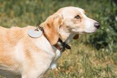 Perro marrón amistoso lindo que mira al dueño, ojos que confían en tristes de a Fotografía de archivo