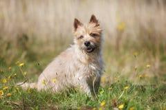 Perro marrón claro de Terrier de mojón imagenes de archivo