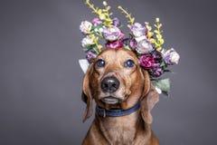 Perro marrón del perro de patas muy cortas en una corona de las flores Fotos de archivo libres de regalías
