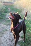 Perro marrón feliz Fotos de archivo libres de regalías