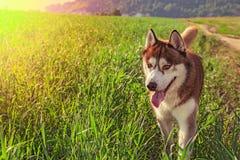 Perro marrón feliz del husky siberiano del retrato que se coloca en prado verde soleado fotos de archivo
