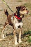 Perro marrón flaco lindo del refugio con la lengua en la correa que presenta al ou Fotografía de archivo libre de regalías