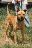 Perro marrón fuerte que camina al aire libre en el parque, wi criados mezclados del perro Fotos de archivo libres de regalías