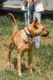 Perro marrón fuerte que camina al aire libre en el parque, wi criados mezclados del perro Foto de archivo
