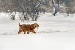 Perro marrón joven del cocker que camina con el palillo de madera en invierno Rama de árbol linda de la tenencia del animal domés foto de archivo